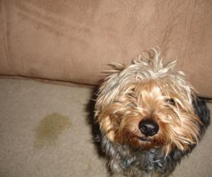 How To Get Rid Of Pet Stains And Urine From Carpets