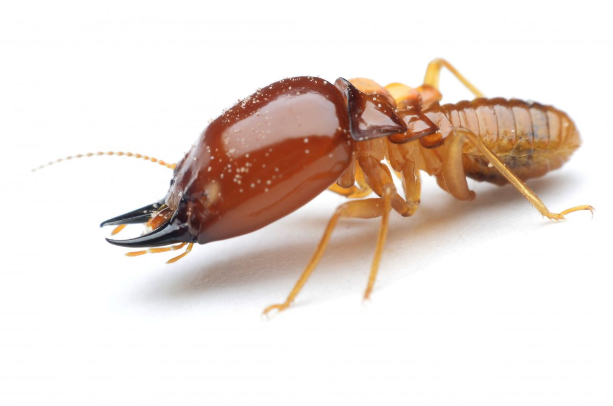 Terrible Termites - Why White Ants are Bad for Your Home