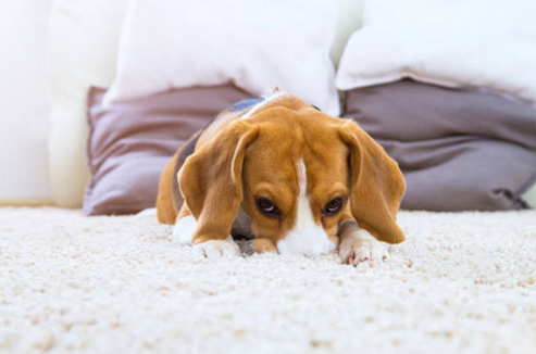 dog stain carpet cleaning gold coast