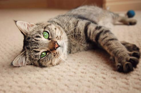 pet carpet cleaner gold coast